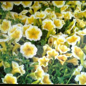 White petunia's with yellow centers